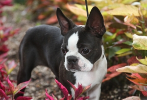 boston_terrier1