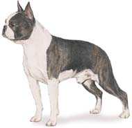 boston_terrier2